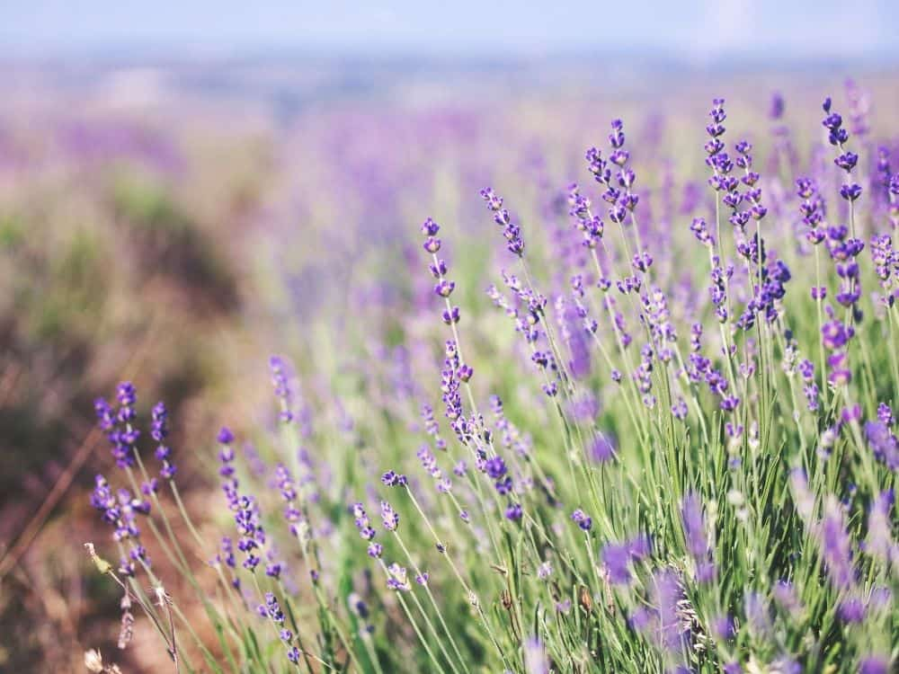 image of a lavender field