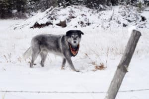 A Dog follows his instinct and locates prey under the snow in winter