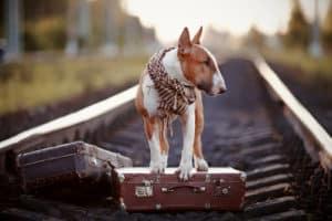 Bull terrier on the road